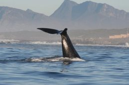 hermanus-whale-watching